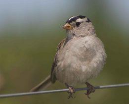 Moineau, un petit oiseau que l'on rencontre dans nos villes